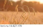 Купить «Колосья пшеницы на ветру», видеоролик № 4427170, снято 19 марта 2013 г. (c) Виктор Савушкин / Фотобанк Лори