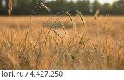 Купить «Колосья пшеницы на ветру», видеоролик № 4427250, снято 19 марта 2013 г. (c) Виктор Савушкин / Фотобанк Лори