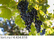 Спелые грозди темного винограда на лозе. Стоковое фото, фотограф ValeriyK / Фотобанк Лори