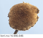 Купить «Корзина подсолнуха без семечек», эксклюзивное фото № 4446646, снято 26 марта 2013 г. (c) Лысенко Владимир / Фотобанк Лори