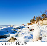 Купить «Белая Хаска на фоне зимнего пляжа», фото № 4447370, снято 25 марта 2013 г. (c) Игорь Соколов / Фотобанк Лори