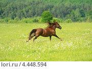 Купить «Скачущая галопом лошадь по зеленому летнему полю», фото № 4448594, снято 3 июня 2012 г. (c) Эдуард Кислинский / Фотобанк Лори