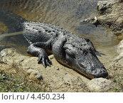 Дикий американский или миссисипский аллигатор в естественной среде. Эверглейдс, Флорида, США. (2012 год). Стоковое фото, фотограф Николай Иванов / Фотобанк Лори