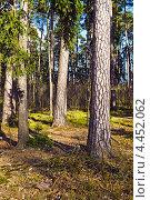 Купить «Хвойный лес в солнечный день», фото № 4452062, снято 17 марта 2013 г. (c) Сергей Трофименко / Фотобанк Лори