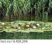 Лилии цветут на пруду. Стоковое фото, фотограф Паюсова Светлана / Фотобанк Лори