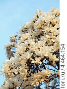Купить «Цветущая белая магнолия Зибольда весной. ( Magnolia sieboldii )», фото № 4464154, снято 18 апреля 2012 г. (c) Ольга Липунова / Фотобанк Лори