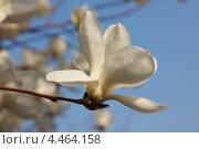Купить «Цветущая белая магнолия Зибольда. Цветок крупным планом ( Magnolia sieboldii )», фото № 4464158, снято 9 апреля 2011 г. (c) Ольга Липунова / Фотобанк Лори