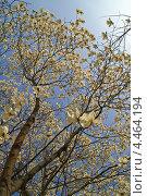 Купить «Цветущая белая магнолия Зибольда. Дерево в парке весной. ( Magnolia sieboldii )», фото № 4464194, снято 7 апреля 2009 г. (c) Ольга Липунова / Фотобанк Лори