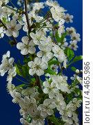 Купить «Ветка вишни с белыми цветами», фото № 4465986, снято 6 мая 2012 г. (c) Александр Волков / Фотобанк Лори