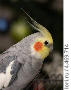 Хохолок на голове попугая корелла. Стоковое фото, фотограф Dmitry29 / Фотобанк Лори