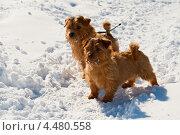 Купить «Два норфолк-терьера», фото № 4480558, снято 6 апреля 2013 г. (c) Юлия Бабкина / Фотобанк Лори
