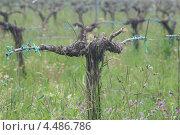 Трехлетнее виноградное дерево. Стоковое фото, фотограф Анна Романова / Фотобанк Лори