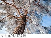Ель в снегу на фоне голубого неба, вид снизу. Стоковое фото, фотограф Анфимов Леонид / Фотобанк Лори