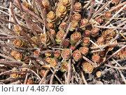 Купить «Молодая поросль седума среди сухих прошлогодних стеблей», эксклюзивное фото № 4487766, снято 9 апреля 2013 г. (c) Ната Антонова / Фотобанк Лори