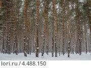 Снежный лес в Воронеже. Стоковое фото, фотограф Александр Tолстой / Фотобанк Лори
