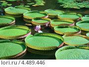 Водная кувшинка Виктория в ботаническом саду Сухуми. Стоковое фото, фотограф Viacheslav Afanasov / Фотобанк Лори