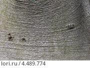 Купить «Фактура коры бука лесного сербского золотистого (Калининградский ботанический сад)», эксклюзивное фото № 4489774, снято 9 апреля 2013 г. (c) Ната Антонова / Фотобанк Лори