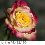 Желто-фиолетовая роза. Стоковое фото, фотограф Георгий Курятов / Фотобанк Лори