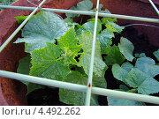 Купить «Огурцы в бочке. Выращивание. Молодые растения.», фото № 4492262, снято 30 июня 2012 г. (c) Ann Perova / Фотобанк Лори