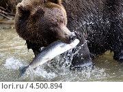 Бурый медведь с пойманной рыбой в зубах. Стоковое фото, фотограф DPS / Фотобанк Лори