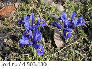 Купить «Иридодиктиум весною», эксклюзивное фото № 4503130, снято 12 апреля 2013 г. (c) Ната Антонова / Фотобанк Лори