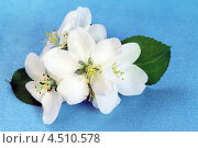 Купить «Цветы яблони на синем фоне», фото № 4510578, снято 19 мая 2012 г. (c) ElenArt / Фотобанк Лори
