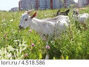 Купить «Три козы пасутся на лугу  на фоне многоэтажных зданий», фото № 4518586, снято 5 июля 2011 г. (c) Losevsky Pavel / Фотобанк Лори