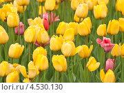 Купить «Желтые тюльпаны», фото № 4530130, снято 9 мая 2012 г. (c) Алёшина Оксана / Фотобанк Лори