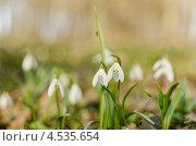 Белые подснежники  в солнечном свете. Стоковое фото, фотограф Mykhaylo Mykulyak / Фотобанк Лори