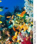 Купить «Сказочные окуньки (Anthiinae, Fairy basslets) - яркие тропически рыбки», фото № 4538090, снято 9 мая 2012 г. (c) Сергей Дубров / Фотобанк Лори