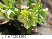 Купить «Соцветие морозника кавказского», эксклюзивное фото № 4539866, снято 19 апреля 2013 г. (c) Ната Антонова / Фотобанк Лори