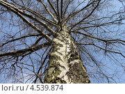 Купить «Береза повислая по весне», эксклюзивное фото № 4539874, снято 19 апреля 2013 г. (c) Ната Антонова / Фотобанк Лори