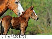 Купить «Жеребенок с лошадью на лугу», фото № 4551738, снято 9 мая 2011 г. (c) Эдуард Кислинский / Фотобанк Лори