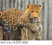 Купить «Леопард, лежащий на дереве», фото № 4551802, снято 14 октября 2012 г. (c) Эдуард Кислинский / Фотобанк Лори