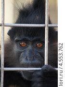 Купить «Мангобей чёрный, Геленджик, Сафари-парк», эксклюзивное фото № 4553762, снято 27 сентября 2012 г. (c) Dmitry29 / Фотобанк Лори