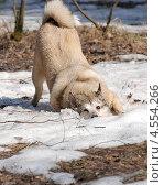 Собака радуется снегу. Стоковое фото, фотограф Чернова Анна / Фотобанк Лори