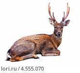 Пятнистый олень на белом фоне. Стоковое фото, фотограф Яков Филимонов / Фотобанк Лори