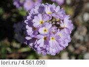 Купить «Крупно соцветие примулы», эксклюзивное фото № 4561090, снято 24 апреля 2013 г. (c) Ната Антонова / Фотобанк Лори