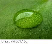 Купить «Капля воды на зеленом листе крупным планом», фото № 4561150, снято 21 октября 2011 г. (c) Светлана Ильева (Иванова) / Фотобанк Лори