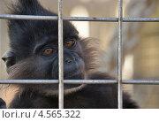 Купить «Чёрный мангобей в клетке, Геленджик, Сафари-парк», эксклюзивное фото № 4565322, снято 27 сентября 2012 г. (c) Dmitry29 / Фотобанк Лори