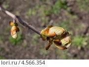 Ветка каштана с молодыми листьями крупным планом. Стоковое фото, фотограф Алексей Егоров / Фотобанк Лори