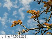 Купить «Соцветия-метелки фисташки туполистной, Pistacia mutica Fisch. et C. A. Mey», фото № 4568238, снято 24 апреля 2013 г. (c) Игорь Архипов / Фотобанк Лори