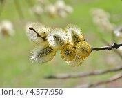 Купить «Цветущая ива козья (Salix caprea)», эксклюзивное фото № 4577950, снято 23 апреля 2013 г. (c) Алёшина Оксана / Фотобанк Лори