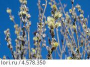 Купить «Цветущая ива», эксклюзивное фото № 4578350, снято 29 апреля 2013 г. (c) Елена Коромыслова / Фотобанк Лори