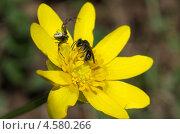 Купить «Пчела на цветке лютика весеннего (Ranunculus ficaria) и паук-тенетник в засаде», эксклюзивное фото № 4580266, снято 29 апреля 2013 г. (c) Елена Коромыслова / Фотобанк Лори