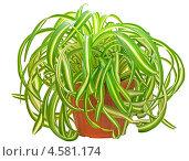 Купить «Растение хлорофитум», фото № 4581174, снято 27 апреля 2013 г. (c) Татьяна Волгутова / Фотобанк Лори