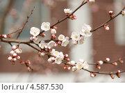 Купить «Вишня», фото № 4587530, снято 25 апреля 2010 г. (c) Ткачёва Ольга / Фотобанк Лори