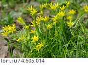 Купить «Гусиный лук желтый или Гагея желтая (Gagea lutea)», эксклюзивное фото № 4605014, снято 8 мая 2013 г. (c) Елена Коромыслова / Фотобанк Лори