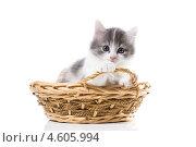 Купить «Трогательный трехцветный котенок в  корзине», фото № 4605994, снято 8 мая 2013 г. (c) Ирина Кожемякина / Фотобанк Лори