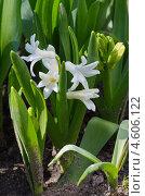 Купить «Белые гиацинты (Hyacinthus) расцветают на клумбе», эксклюзивное фото № 4606122, снято 8 мая 2013 г. (c) Елена Коромыслова / Фотобанк Лори